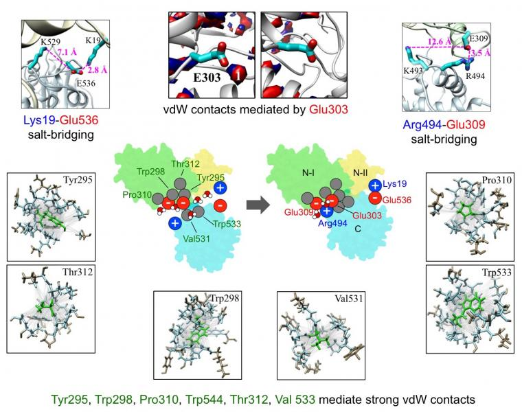Detailed analysis of molecular residues and interactions responsible for force generation