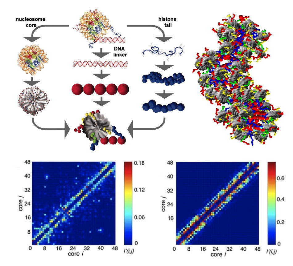 Mesoscopic modeling of chromatin